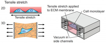 Schematic showing how mechanical stimulation can be applied to cells in an organ-chip