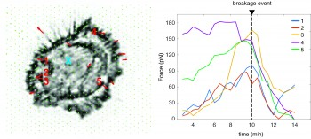 Nanopillar measurements of traction forces in absence of calponin-3.