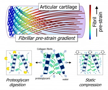 Fibrillar gradients in pre-strain across the thickness of bovine articular cartilage (top) are disrupted in when proteoglycan is enzymatically removed as well as under static compression.