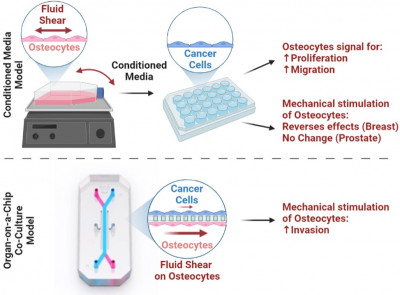 New organ-on-a-chip study demonstrates how physical exercise regulates bone metastasis …