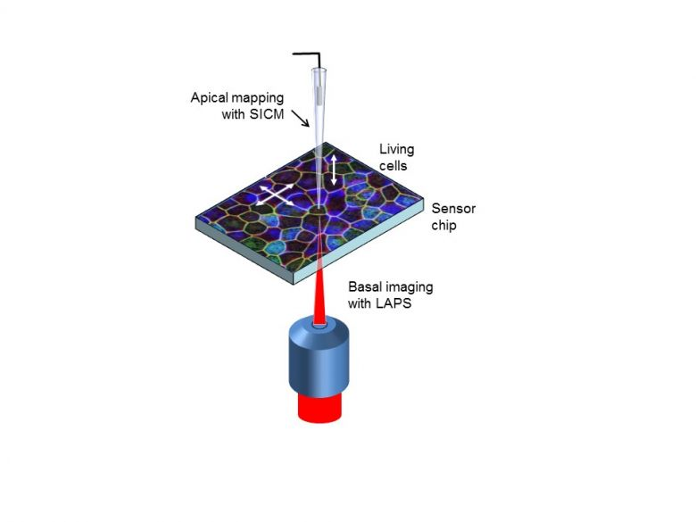 The instrument will combine two electrochemical imaging techniques which measure cell responses apically and basally.